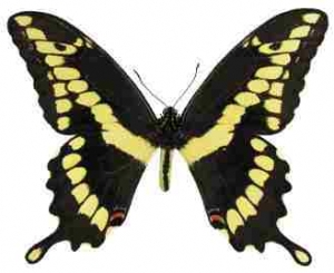Giant Swallowtail Whimsical Wings Butterfly