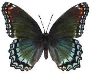Red-Spotted Purple Whimsical Wings Butterfly