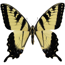 Tiger Swallowtail Whimsical Wings Butterfly