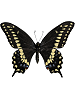 Black Swallowtail Whimsical Wings Butterfly