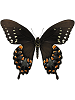 Spicebush Swallowtail Whimsical Wings Butterfly