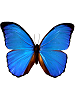 Morpho (menelaus) Whimsical Wings Butterfly