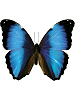 Morpho (deidamia) Whimsical Wings Butterfly