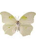 Angled Sulphur Whimsical Wings Butterfly
